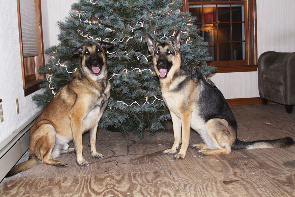 ... is a Belgian Malinois and Meeka (right) is a female German Shepherd